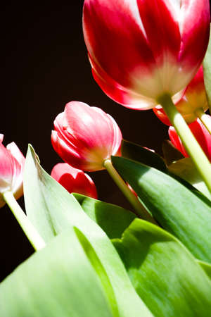 buttom: tulips on black background , from buttom Stock Photo