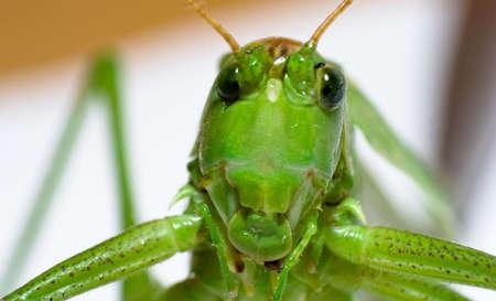 grashopper Stock Photo