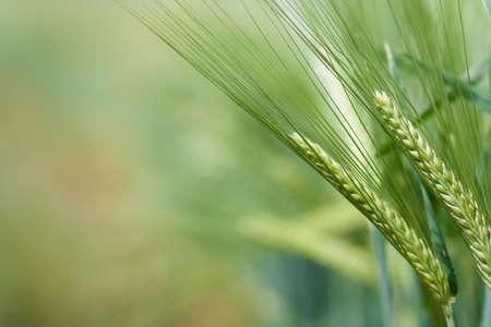 Yellow grain ready for harvest growing in a farm field Banco de Imagens