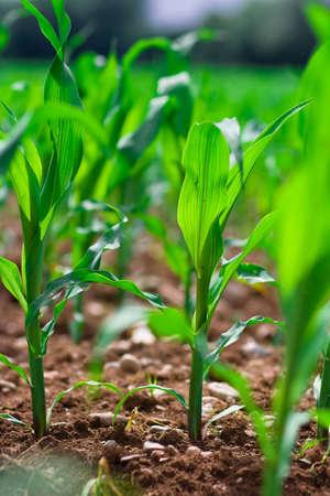 Rząd zboże na polu rolnych. Zdjęcie Seryjne