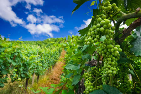 Vineyard rows in Germany