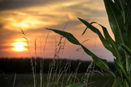 sunset on a corn field photo