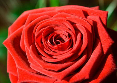 flower: red rose as postcard for example Stock Photo - 4235263
