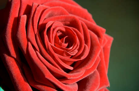 flower: red rose as postcard for example Stock Photo - 4554031