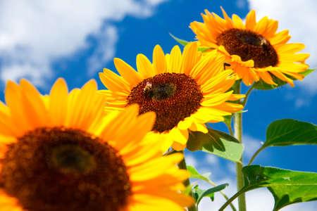 fresh sunflower on blue sky as background