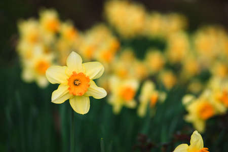yellow Daffodil on green background with some other daffodils Banco de Imagens