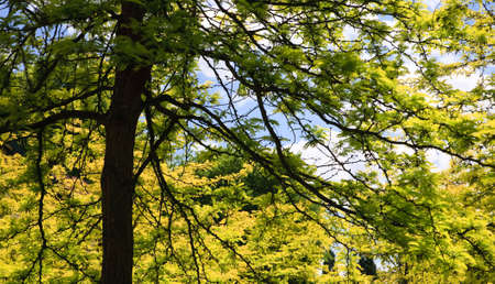 View into a lush green maple tree Stock Photo - 5413936