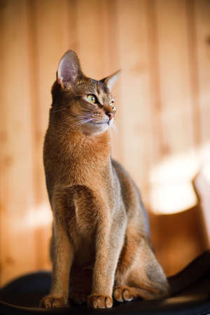 young brown Abyssinian cat on char photo