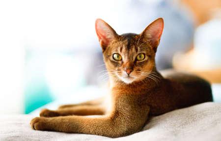 veterinario: gato abisinio de jóvenes en acción