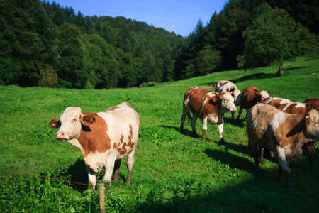 cows on a green field on a suny day with blue sky Stock Photo - 5630450