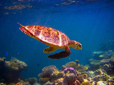 Żółw szylkretowy kąpanie jak leciał na Malediwach