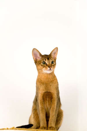 abyssinian cat: young Abyssinian cat in action