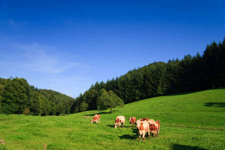 greenfield: cows on a green field on a suny day with blue sky Stock Photo