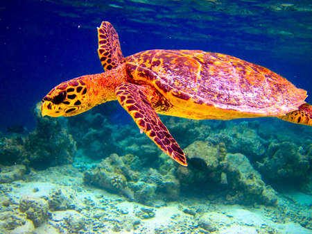 Hawksbill Turtle swiming like flying at Maldives photo