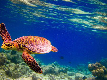 Hawksbill Turtle swiming takich jak pływających pod na Malediwach