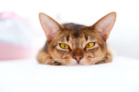 affectionate action: j�venes de gato de Abisinia, acostado en el sof� blanco sobre fondo brillante