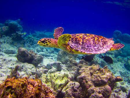 Hawksbill Żółw swiming jak pływających pod na Malediwach