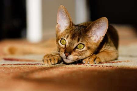 affectionate action: j�venes de gato de Abisinia, en acci�n  Foto de archivo