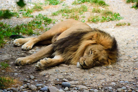 Lion relaxing in the grass photo