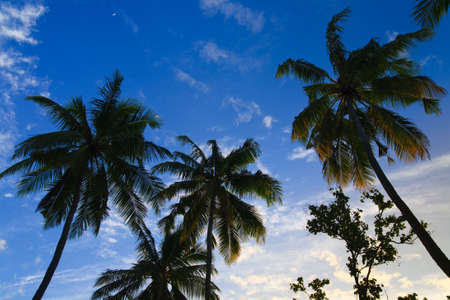 coconut trees couple on blue sky in paradiese