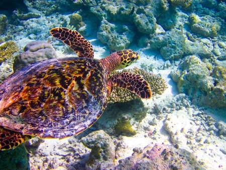 Hawksbill Turtle swiming like flying at Maldives