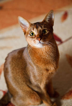 verry cool and wounderful young abyssinian cat