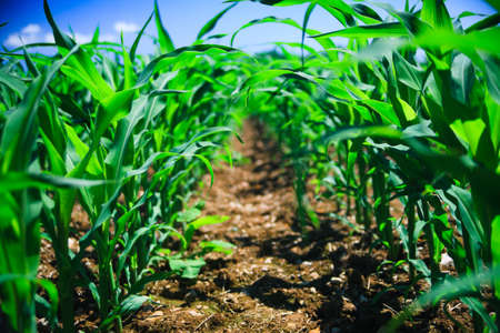 Row of corn on an agricultural field.