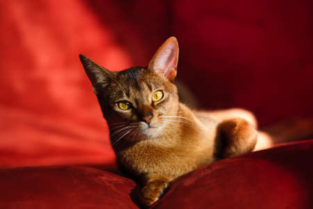 verry cool and wounderful young abyssinian cat photo
