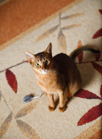 verry cool and wounderful young abyssinian cat photo photo