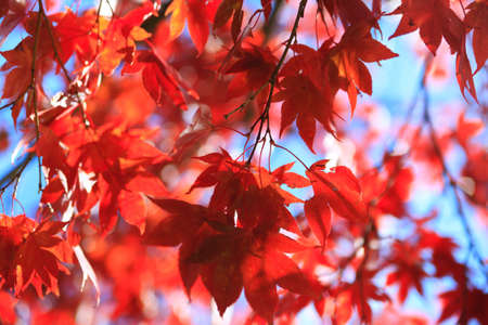 autumnal red leaves against the blue sky photo
