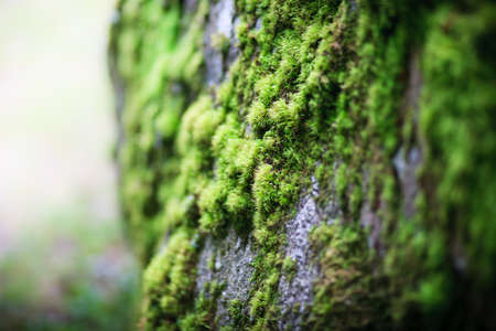 close-up of green fresh moss on growing on big stone
