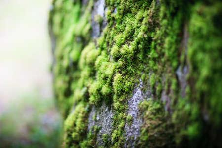 makro zielony moss świeżego na uprawy na duży kamień