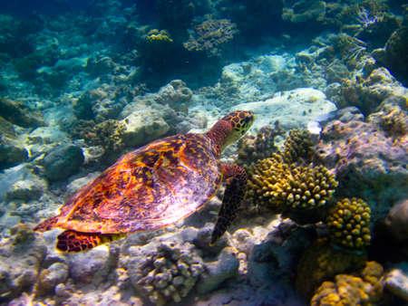 Hawksbill Turtle swiming like flying at Maldives photo