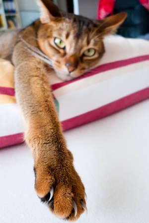 purebred cat: Photo of a race cat