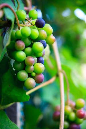 natur: fresh green grape in natur macro