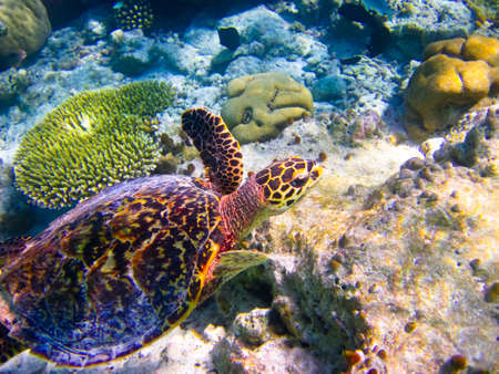 caribbean climate: Hawksbill Turtle swiming like flying at Maldives