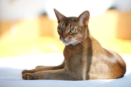 abyssinian cat: Photo of a race cat