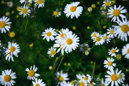 Spring grass field with many white daisies Banco de Imagens