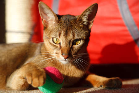 abyssinian cat: verry cool and wounderful young abyssinian cat photo