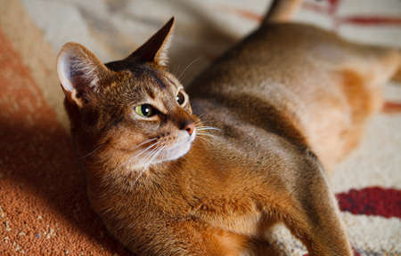 verry: verry cool and wounderful young abyssinian cat photo