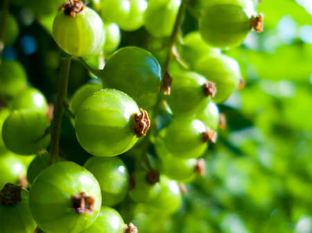 fresh green  currant in natur macro photo Banco de Imagens