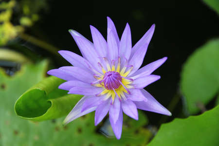 Purple lotus. photo