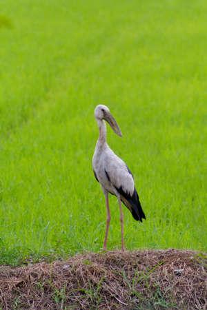 oscitans: Open-billed Stork Anastomus oscitans Ciconiidae