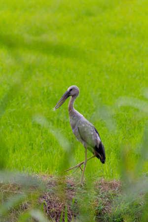 anastomus: Open-billed Stork Anastomus oscitans Ciconiidae