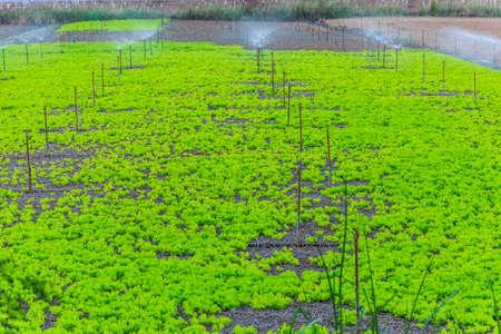 lettuces: lettuces farm