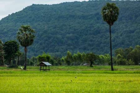 Sugar palm and Rice fields photo