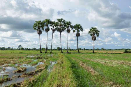 sugar palm: Sugar palm and Rice fields
