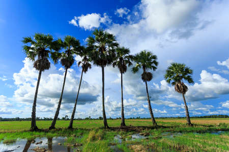 Sugar palm and Rice fields photo