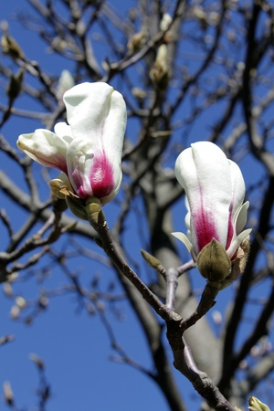 Magnolia flower buds against the blue sky photo