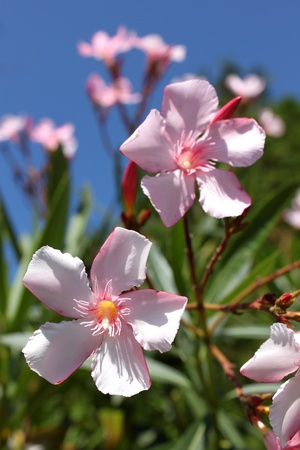 Nerium oleander flowers against a blue sky Stock Photo - 14918898